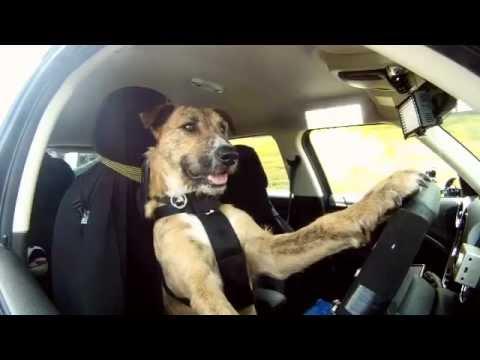 Même des chiens savent conduire une Mini